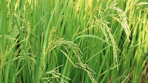 Green Rice Paddy 0
