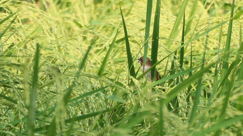 Scaly-breasted Munia In The Green Rice Paddy