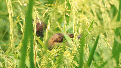 Scaly-breasted Munia In The Green Rice Paddy 0