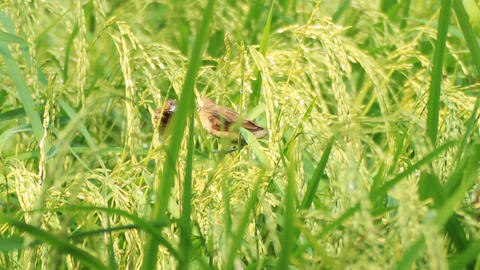 Scaly-breasted Munia In The Green Rice Paddy 1