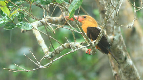 Brown-winged Kingfisher stock footage