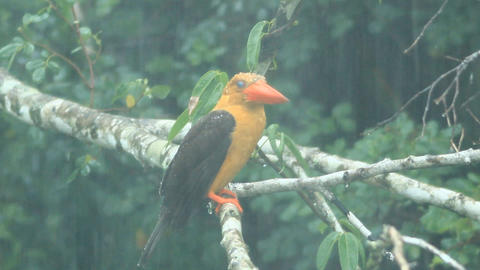 Brown-winged Kingfisher Footage