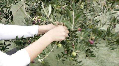 Olives Picking stock footage