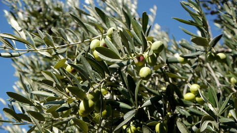 Ripe Olives stock footage