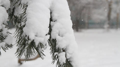 Pine Tree With Fresh Snow stock footage