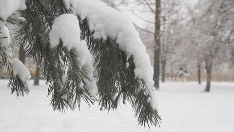 Pine tree with fresh snow Footage