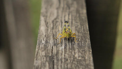 Close Up Of Green Grasshopper On A Wood stock footage