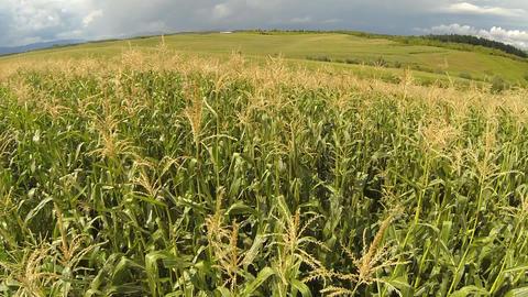 Aerial of cornfield Footage
