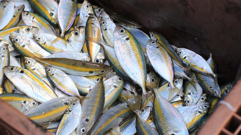 Fresh Fishes Form Andaman Sea 2