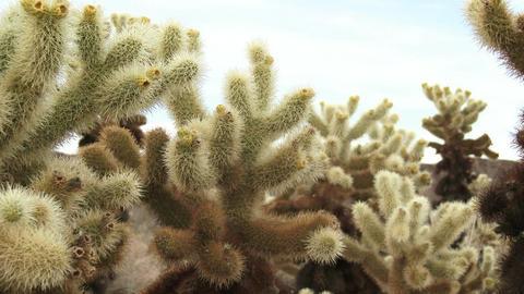 Cholla Cactus Footage