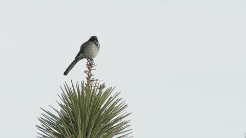 Bird sits on Joshua Tree Footage