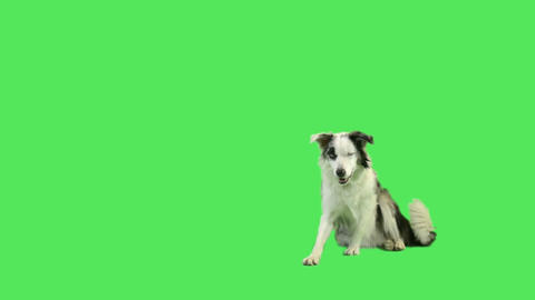 Dog laying down and rolling over in green screen studio Live Action