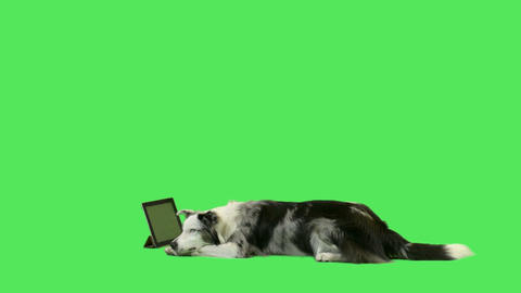 Pet dog watching digital tablet Footage