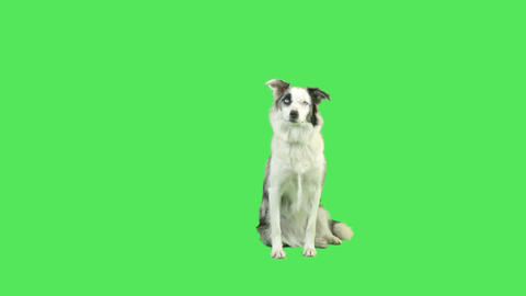 Talking dog in green screen studio Footage