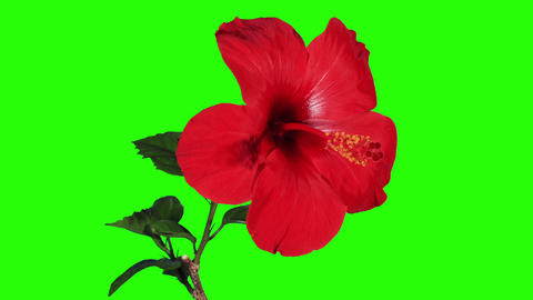 Blooming red Hibiscus flower buds green screen Footage