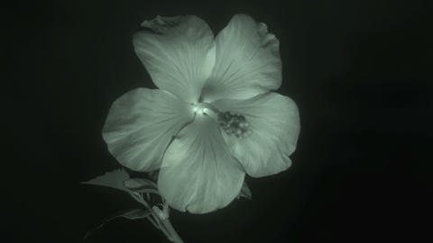 Flower in infrared light: Blooming red Hibiscus fl Footage