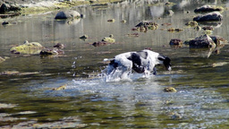 Dog playing in water Footage