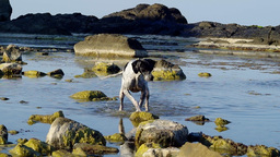 Dog Playing In Water stock footage