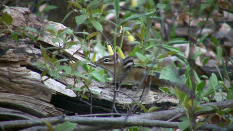 Chipmunk cautiously sits and waits, ready to run (High... Stock Video Footage