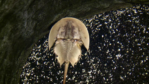 Horseshoe Crab is walking around the bottom of water Stock Video Footage