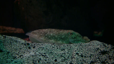Cuttlefish is resting at the bottom of the tank Live Action