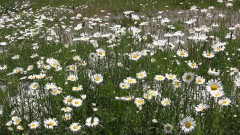 Wild daisies are gently blowing in the wind (High... Stock Video Footage