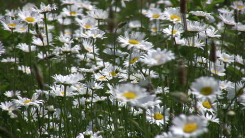 Closeup of wild daisies swaying in the wind (High... Stock Video Footage