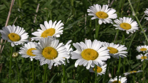 Closeup of wild daisies swaying in the wind (High Definition) Footage