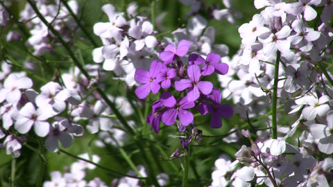 Closeup of dame's violets swaying in the wind (High... Stock Video Footage