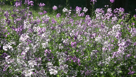 Dame's violet wildflowers gently sway in the wind (High Definition) Footage