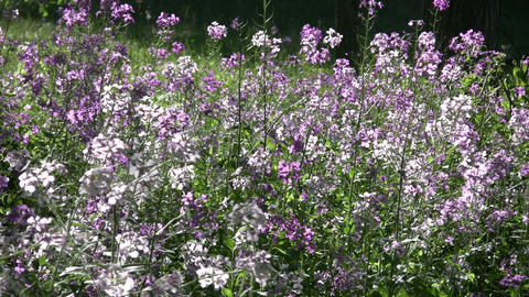 Dame's violet wildflowers gently sway in the wind (High... Stock Video Footage