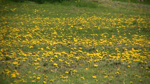 Lots of dandelions are blooming in a field (High Definition) Footage