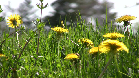 Closeup of dandelions blooming in a field (High Definition) Stock Video Footage