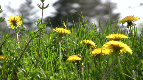 Closeup of dandelions blooming in a field (High Definition) Footage