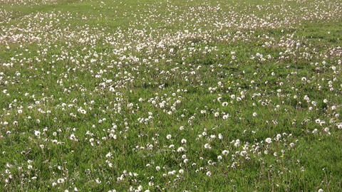Lots of dandelions are seeding in a field (High Definition) Stock Video Footage