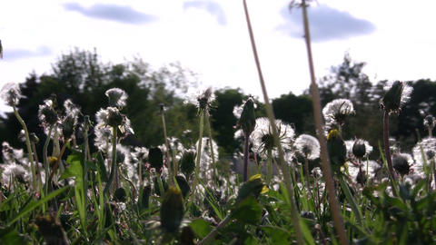 Closeup of dandelions seeding in a field (High Definition) Stock Video Footage