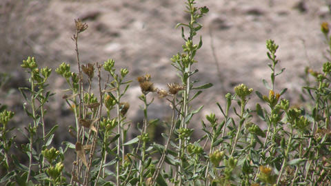 Desert plants sway in wind on sunny day (High Definition) Stock Video Footage