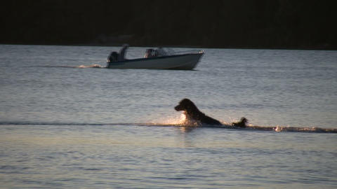 Dog chases after stick in water at sunset (High Definition) Footage