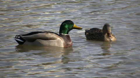 Duck Swimming 07 (High Definition) Stock Video Footage