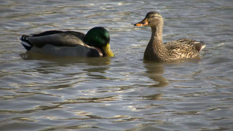 Duck Swimming 07 (High Definition) Footage
