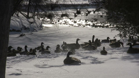 Crazy ducks suddenly swarm from land to water (High... Stock Video Footage