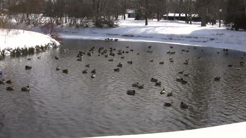 Community of ducks are happily swimming in pond (High Definition) Footage