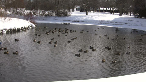 Community of ducks are happily swimming in pond (High... Stock Video Footage