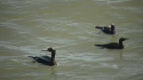 Family of black ducks are swimming in ocean (High Definition) Footage