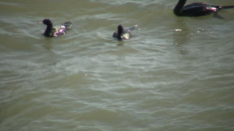 Family of black ducks are swimming in ocean (High... Stock Video Footage