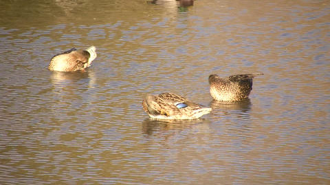 Three Ducks Cleaning Themselves (High Definition) Stock Video Footage