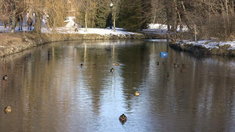 Ducks Swimming In Park River 2 (High Definition) Stock Video Footage