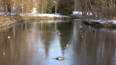 Ducks Swimming In Park River 2 (High Definition) Footage