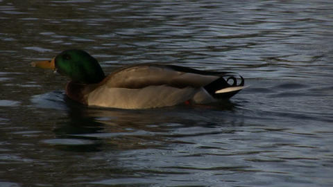 Male Duck Swimming 2 (High Definition) Stock Video Footage