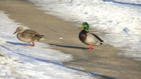 Male Duck Following Female (High Definition) Stock Video Footage